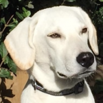 Snowball – Currently in UK Foster, Surrey